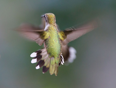 Hummingbird-Aerodynamics
